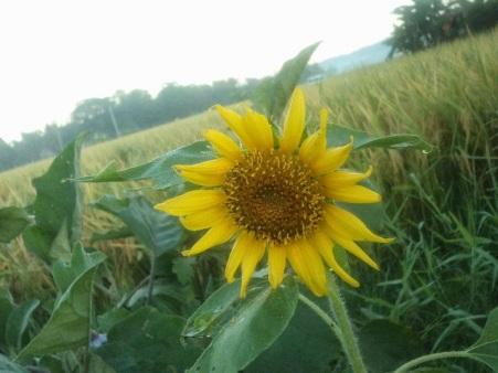 4927f-fieldflower